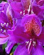 Paarse rhododendron