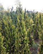 Gele Coniferen Schijncypress
