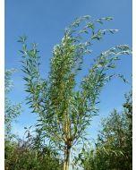 Salix alba geel
