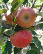 appelboom Malus Elstar