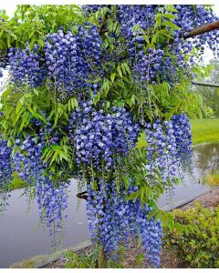 Blauwe regen