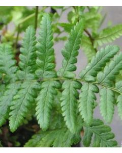 Mannetjesvarens Dryopteris affinis