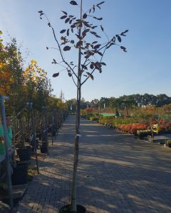 Juglans regia gewone walnotenboom
