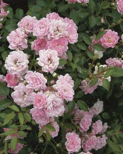 Rozen roze