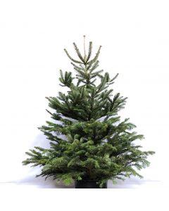 Nordmann kerstboom met houten kruis.