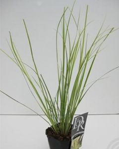 Cortaderia sell. 'Mini Goldpampas'