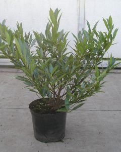 Laurier planten laag