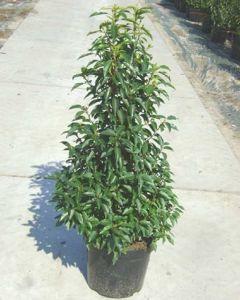 Prunus Portugese Laurierhaag