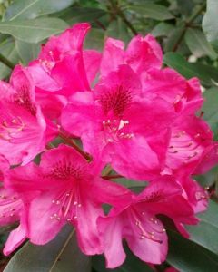 Roze Rhododendron