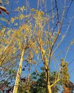 Salix sepulcralis 'Chrysocoma'