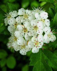 Witte Meidoorn