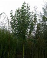 Populus alba Witte abeel