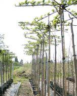 Dakmoerbei boom wit kopen.
