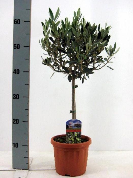 snoeien olijfboom op stam