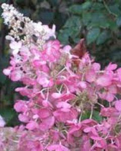 Roze Pluimhortensia