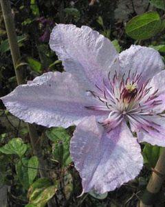 Clematis hagley hybrid