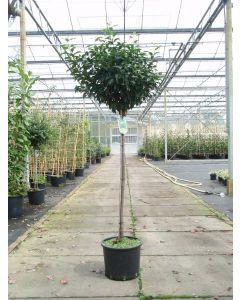 Portugese laurierboom op stam