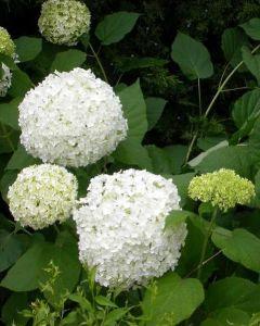 Witte Hortensia Annabelle